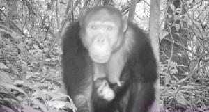 Bringing Tofala Chimps Closer to Man Through Habituation