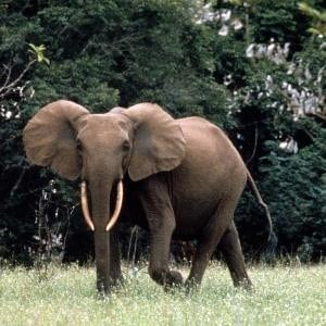 ERuDeF Conservationist sights 2 African Forest Elephants in the Proposed Mak-Betchou Sanctuary