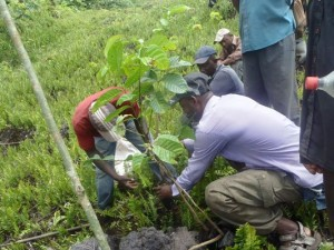 Enrichment planting of Zebra wood and other highly valued red List plants in fragile Community Forests at the Mt. Cameroon Region