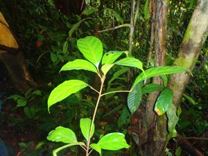 3 New Threatened Tree Species Identified Within the Mt Cameroon Tree Project