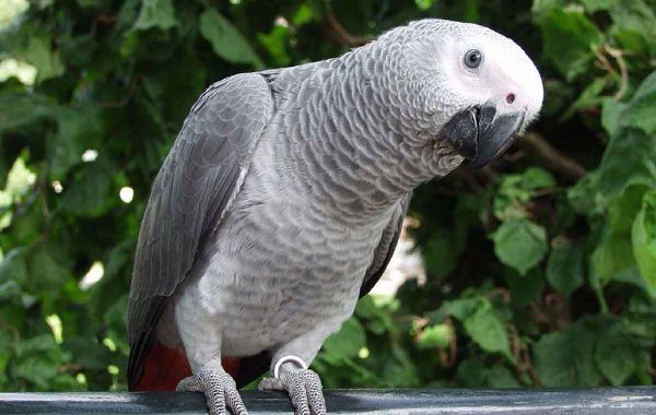 The Assessment of Status and Conservation of the African Grey Parrot (Psittacus erithacus) in the Proposed Mak-Betchou Wildlife Sanctuary, South West Cameroon.