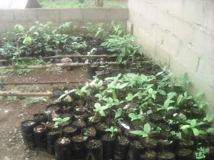 Agroforestry Farming System Gaining Ground In Mount Cameroon Area