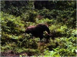 Genetically Connecting Isolated Critically Endangered Species In The Lebialem Highlands Conservation Complex, South West Cameroon By Creating Conservation Corridors