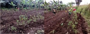 Over 2Million Agroforestry Trees Planted Littoral, West Northwest, Southwest Cameroon