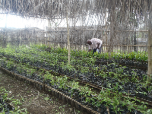 ERuDeF sets up five 5000 capacity community nurseries around Mt Cameroon