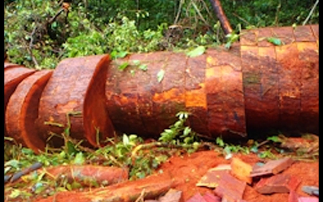 ERuDeF to plant 30.000 trees on Mount Cameroon to curb biodiversity Loss
