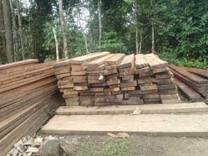 Indiscriminate logging threatens extinction of Microberlinia bisulcata at Mt Cameroon forest