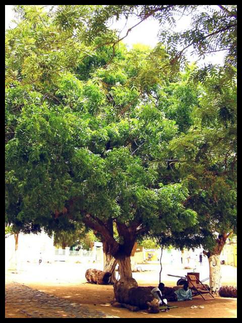 Trees Cameroon to donate neem trees to Ikiliwindi natives