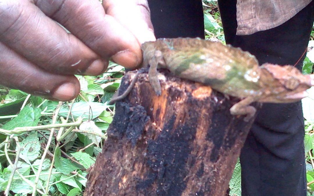 Chameleons Pet Trade Banned in Mount Muanenguba Area
