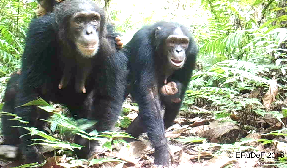 20 Chimpanzees captured on One Camera Trap in Tofala.