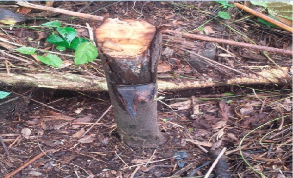Discover Cameroon's Endemic Zebrawood at the Mercy of Wanton Exploiters